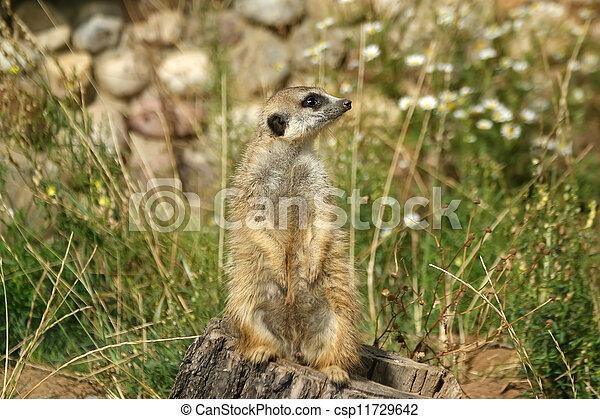 The meerkat or suricate (Suricata, suricatta), a small mammal, is a member of the mongoose family - csp11729642