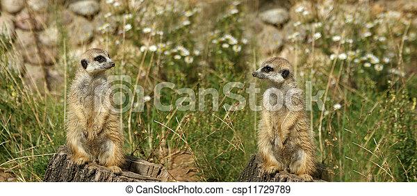 The meerkat or suricate (Suricata, suricatta), a small mammal, is a member of the mongoose family - csp11729789