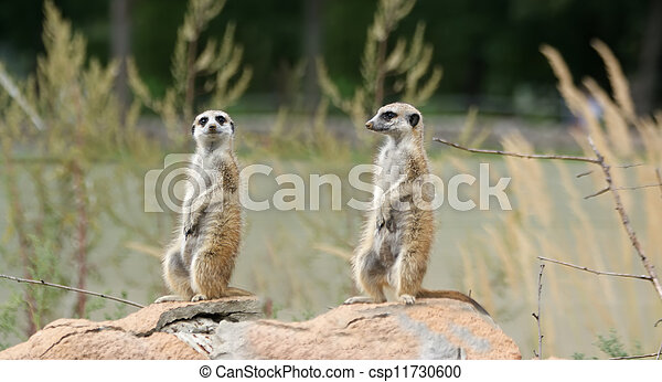 The meerkat or suricate (Suricata, suricatta), a small mammal, is a member of the mongoose family - csp11730600