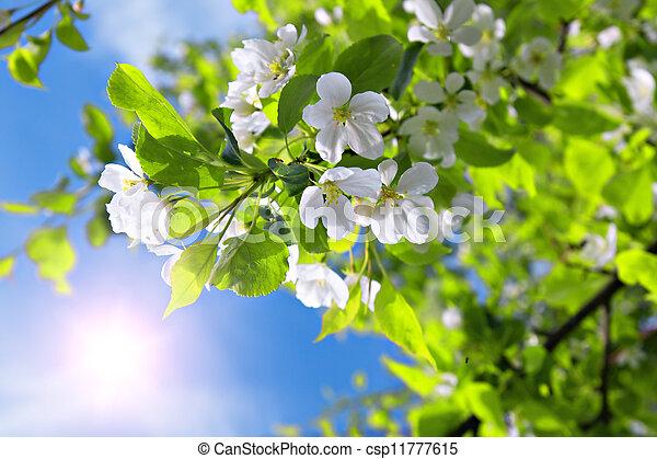 photographies de bleu fleur apple arbre ciel branche soleil branche csp11777615. Black Bedroom Furniture Sets. Home Design Ideas