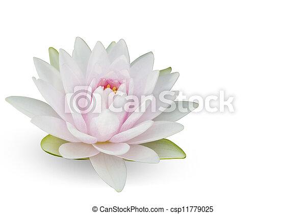 Waterlily on white - csp11779025