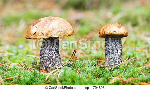 stock fotografien von essbare pilze in wald orange cap steinpilze csp11794895 suchen sie. Black Bedroom Furniture Sets. Home Design Ideas
