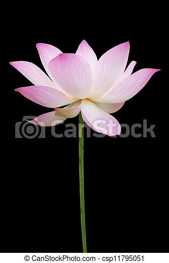 Pink lotus isolated on black - csp11795051