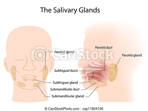 Salivary glands, eps10 - csp11804106