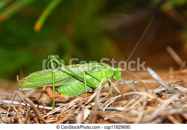 Fork-tailed Bush Katydid (Scudderia furcata) - csp11829680