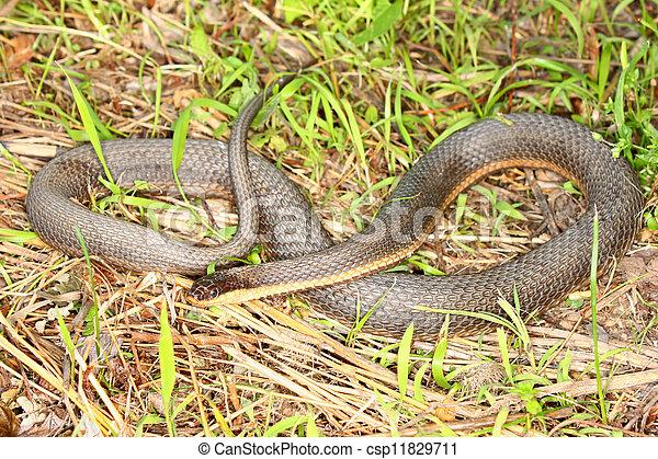 Queen Snake (Regina septemvittata) - csp11829711
