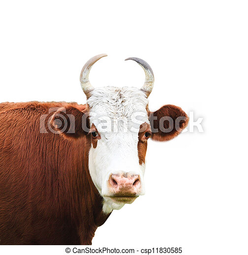 Close up portrait of the white and brown cow - csp11830585