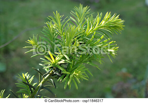 Stock Photography of Yew tree (Taxus cuspidata). Young ...