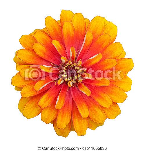 Zinnia flower isolated on white background - csp11855836