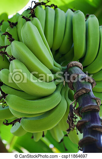 Green bananas - csp11864697