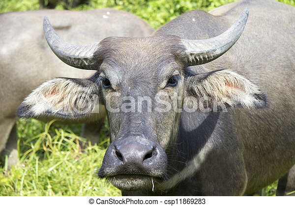 Water buffalo - csp11869283