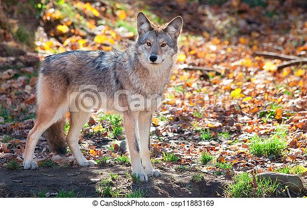 image de coyote regarder appareil photo sur automne jour csp11883169 recherchez des. Black Bedroom Furniture Sets. Home Design Ideas