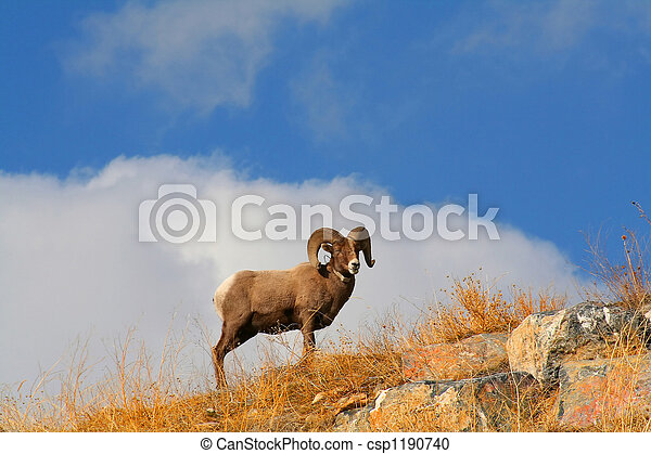 Big Horn Sheep - csp1190740
