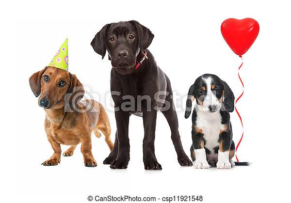 three puppies celebrating a birthday - csp11921548