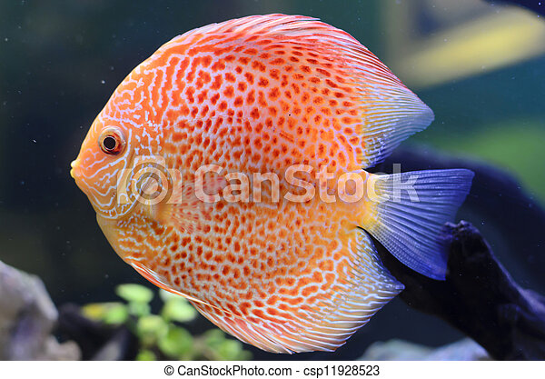 Discus fish, Orange Symphysodon Discus in aquarium. - csp11928523