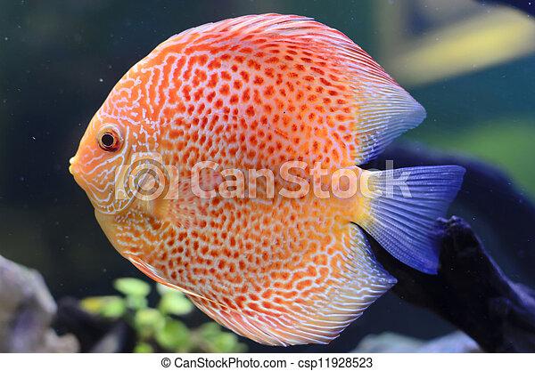Discus fish, Orange Symphysodon Discus in aquarium. - csp11928523