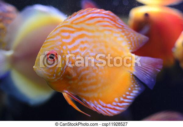 Discus fish, yellow Symphysodon Discus in aquarium. - csp11928527