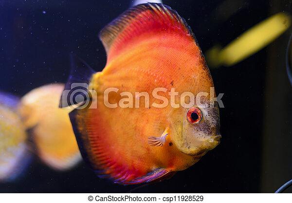 Discus fish, orange Symphysodon Discus in aquarium. - csp11928529