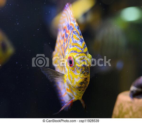 Discus fish, yellow Symphysodon Discus in aquarium. - csp11928539