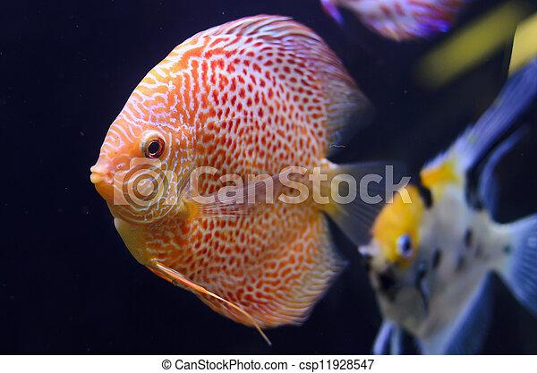 Discus fish, red Symphysodon Discus in aquarium. - csp11928547