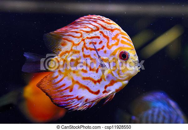 Discus fish, red Symphysodon Discus in aquarium. - csp11928550