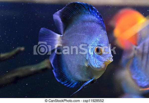 Discus fish, blue Symphysodon Discus in  aquarium. - csp11928552