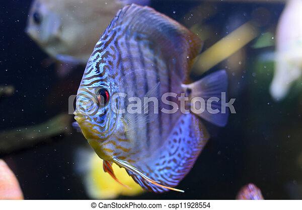 Discus fish, blue Symphysodon Discus in  aquarium. - csp11928554