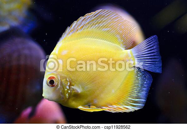 Discus fish, yellow Symphysodon Discus in aquarium. - csp11928562