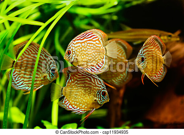 Discus fish (Symphysodon) swimming underwater - csp11934935