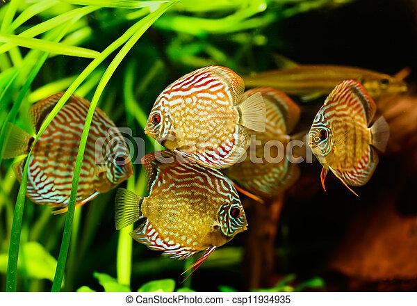 Discus fish (Symphysodon) swimming underwater - csp11934935