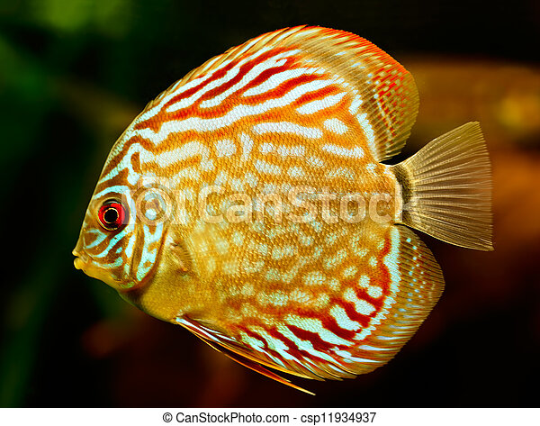 Discus fish (Symphysodon) swimming underwater - csp11934937