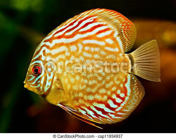 Discus fish (Symphysodon) swimming underwater - csp11934937