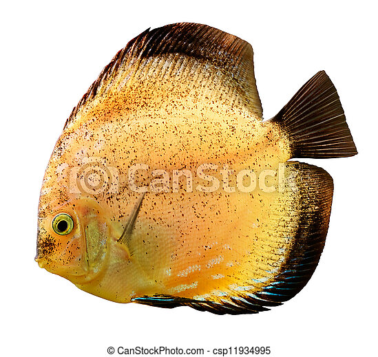 Discus fish (Symphysodon) swimming underwater - csp11934995