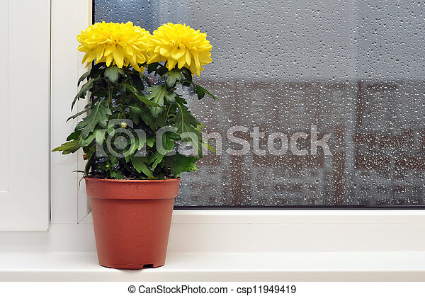 Yellow chrysanthemums on a window sill - csp11949419