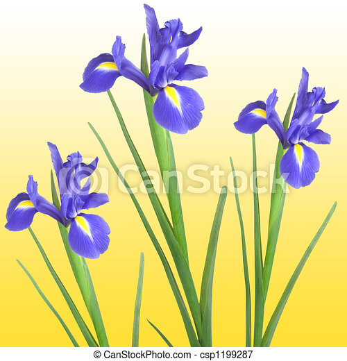Iris - csp1199287