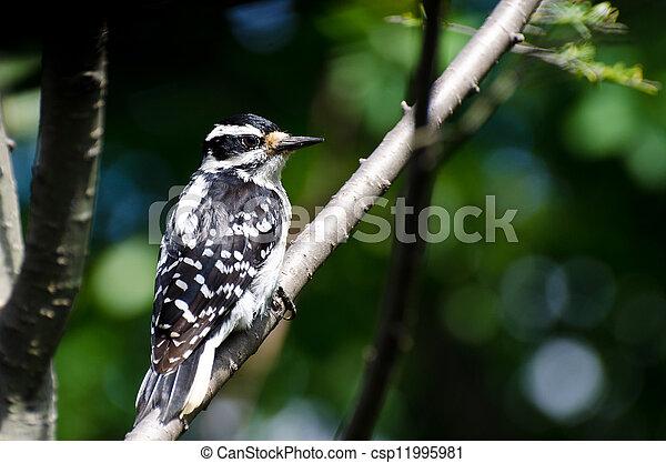 peludo, perched, pájaro carpintero, árbol - csp11995981