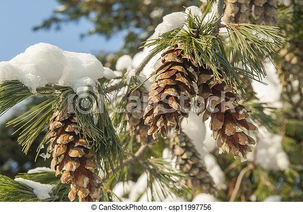 Fir cones in snow