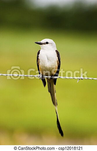 Scissor-tailed Flycatcher - csp12018121