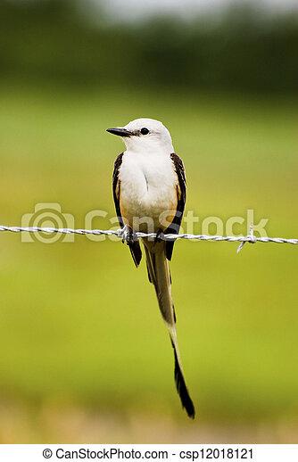 Scissor-tailed Flycatcher - csp12018121