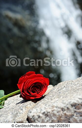 Waterfall Rose - csp12028361