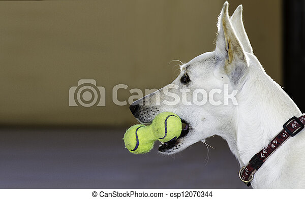 Dog with a toy of tennis balls - csp12070344