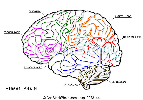brain drawing with labels - photo #17