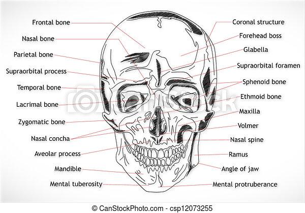 Human Skull structure - csp12073255