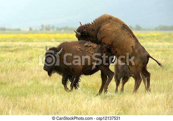 apareamiento, norteamericano, bisonte, (bison, bison), (aka ...