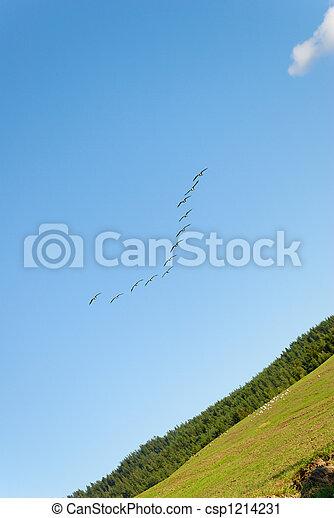 Landing Canadian Geese  - csp1214231