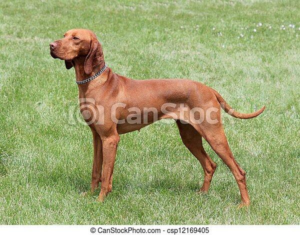 Stock Photography of Hungarian Vizsla dog - HungarianShort-haired ...