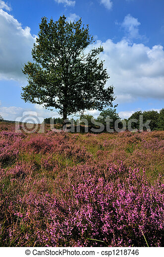 Tree in a heather field - csp1218746
