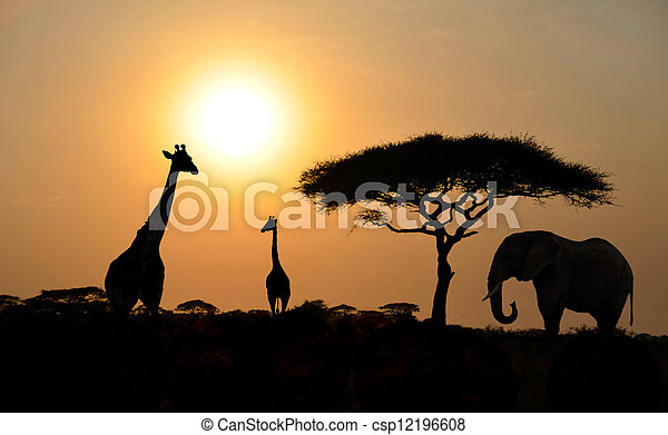 Giraffes and Elephant with Acacia tree with Sunset - csp12196608