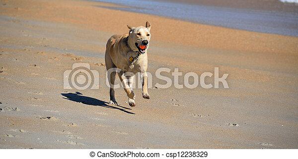 Dog retrieving a ball on the beach - csp12238329