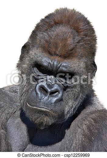 大猩猩, 肖像 - csp12259969
